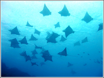 Eagle Ray swimming